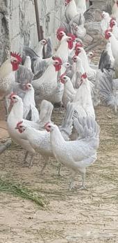 صيصان دجاج فيومي المنيوم 150صوص الحبة 25ريال
