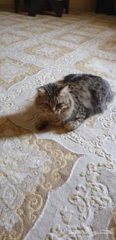 - قط شيرآزي