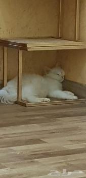 قطط شيرازيه عمر شهرين ونصف للبيع