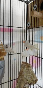 طيور زيبرا للبيع