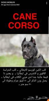كلب كان كورسو الايطالي و معلومات مفيدة و قيمة