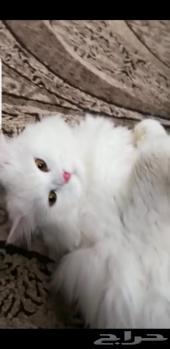 قط شيرازي أبيض للتزاوج
