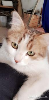 قطة للبيع بخميس مشيط وأبها بسعر مناسب