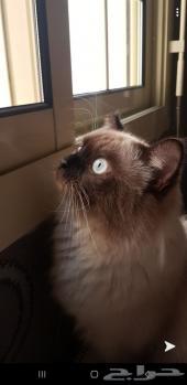 قط للبيع او البدل بقط صغير