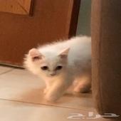 قطه ذكر العمر ثلاث شهور
