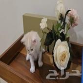 قطط   أمريكي شيرازي   للبيع