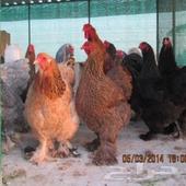 دجاج برهما