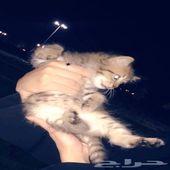قطط شيرازية البيع مستعجل