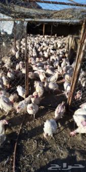 دجاج ابيض لاحم
