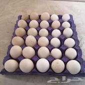 البيع بيض مشكل بط مصري 17 حبه بيض رومي 4حبه ب
