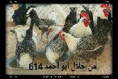 بشاير فيومي مصري اصل حجم الجامبو (تم البيع)