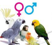 تحليل ال DNA لمعرفة الذكر و الانثي للطيور