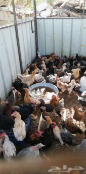 دجاج بلدي العمر ثلاث شهور