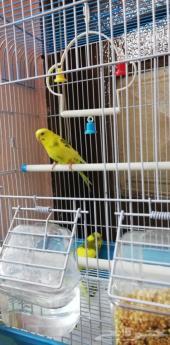 جوز بادجي طيور الحب مع قفص