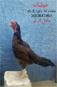 دجاجه ميوااليه من( النواادر)