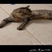 قطه شيرازي مطعمه 230