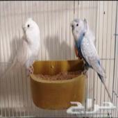 جوز طيور حب.. الخرج