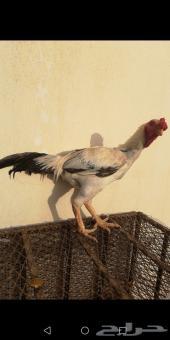 ديك ودجاجه حجازي