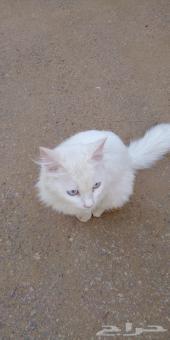 قطة اجنبيه
