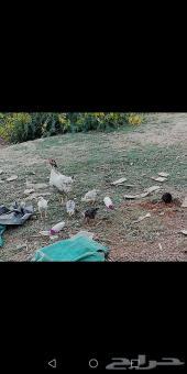 دجاج بلدي مع فروخها في العارضة