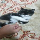 قطه هملايا صغيره