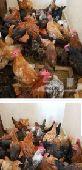 دجاج بلدي بشاير وديوك