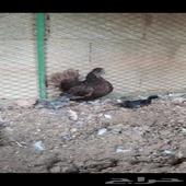 دجاجه حباحب
