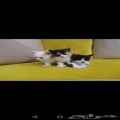 صغار قطط شيرازيه kittens