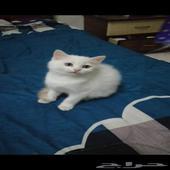 قطه صغيره شيرازي امريكي مع اغراضها قطتين