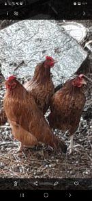 ثلاث دجاجات حجم