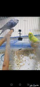 طيور حب بادجي جوز