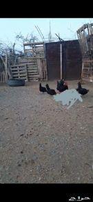 دجاج بلدي نضيف