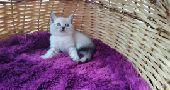 قطه سكوتش فولد ستريت أنثى  cat for sale