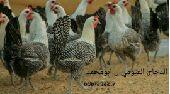 صوص فيومي مصري. وطيور الفزن الجميل. وطاووس.