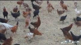دجاج بلدي ابو 4 شهور
