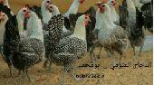 ( تم البيع)دجاج فيومي ( سلاله صافيه ونقيه )