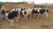 عجول هولندي بتلو للبيع في محافظة النعيرية