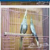 طير كروان مفقود