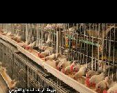 الدجاج الفيومي الاصيل .