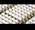 بيض دجاج بلدي للفقاسه مخصب