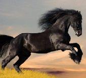 فرس حصان مهره مهر خيول (مزاد فرسان الغربية)