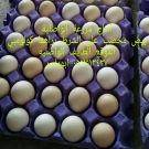 بيض مخصب براهما توب بيض مخصب سمان