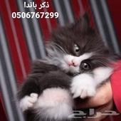 قطط بسس كيتن صغار للبيع بجدة
