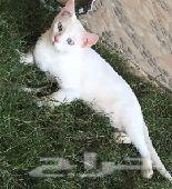 قطط شيرازيه مووجوده ذكر و3 اناث الليفه