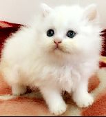 قروب قطط بجميع انواعهاا