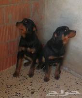 كلاب روت وايلر للبيع عدد 4