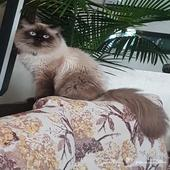 القط لايت طالب تزاوج .