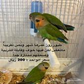 طيور روز الخرج الدلم