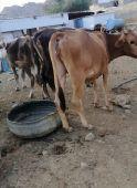 أبقار للبيع