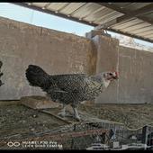 دجاج فيومي بياض جامبو